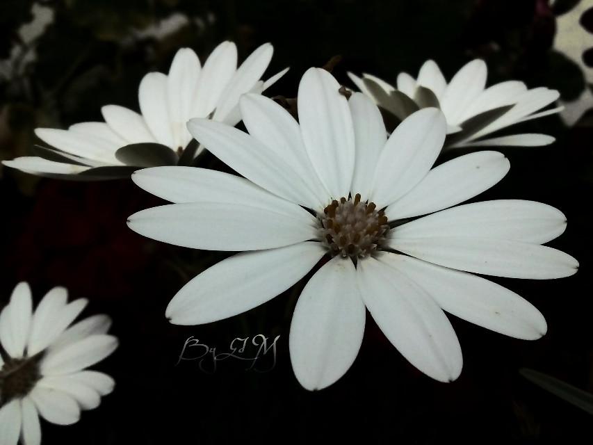 #photography #love #flower #blackandwhite  #nature