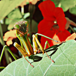 garden insect prayingmanthis green