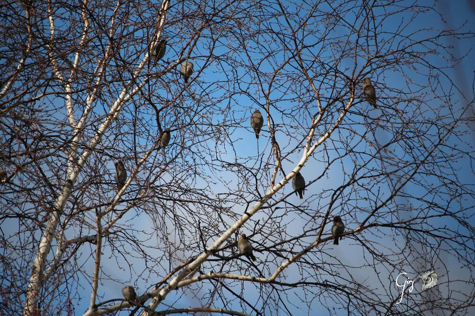 Un deux, jaseur, trois jaseurs des cèdres  One two three  ...   cedar waxwing  #birds  #autumn #nature #photography