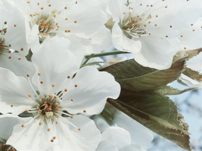 #flower #blossom #cherryblossom blossoms #cherry