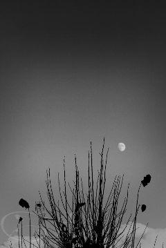 moon blackandwhite tree