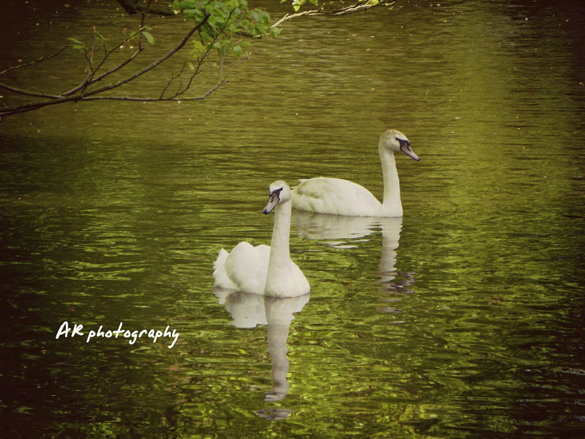 Swan # white # beauty # explore