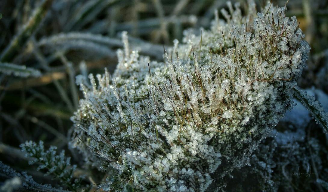 ❄ Frozen Moss ❄  #naturephotography #winter #closeup #frozen #snow #macro #nature