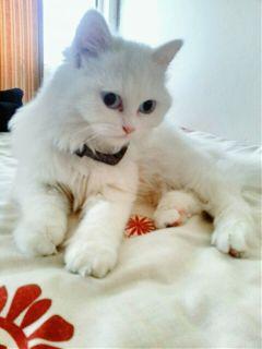 mypet softfocus white