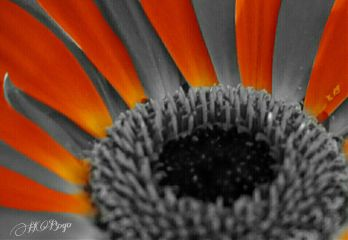 photography colorsplash flower blackandwhite colorful
