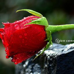 wppwaterdrops roses waterdrops rain love