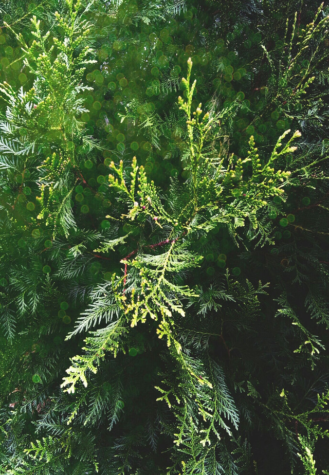 Evergreen #photography #bokeh #retro #nature