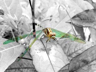 wingsmagic dragonfly color thương th