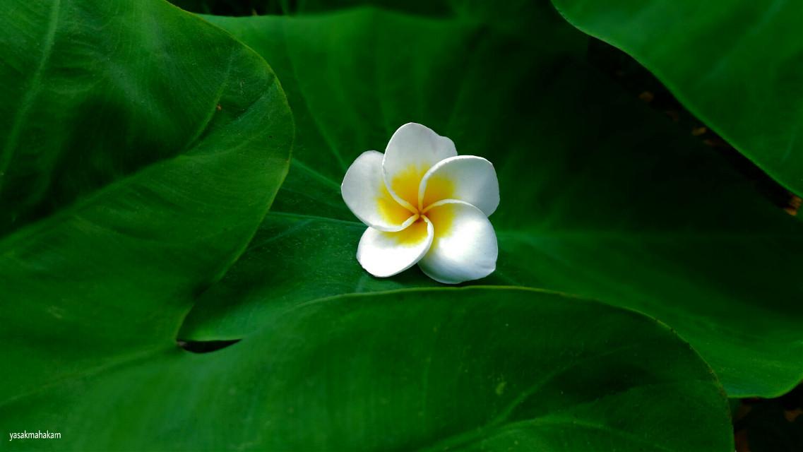 #fleurs de frangipanier #photography  #flower #nature #freetoedit
