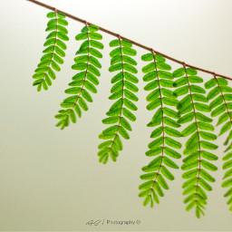 freetoedit branches brightbackground stilllife wppshapes pccolorgreen pccolorsofnature pcleaves pcsinglestilllife