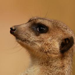 meerkat photography nature petsandanimals animals