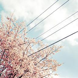 cherryblossom spring sky
