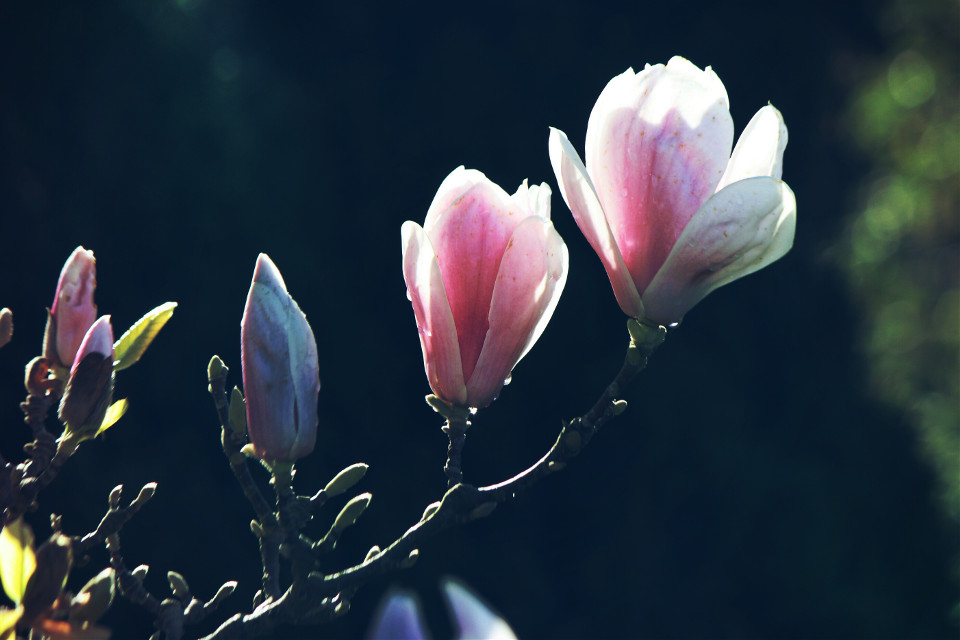 Magnolia flowers #nature #flowers #spring #outandabout #lightmask #dodger #photography