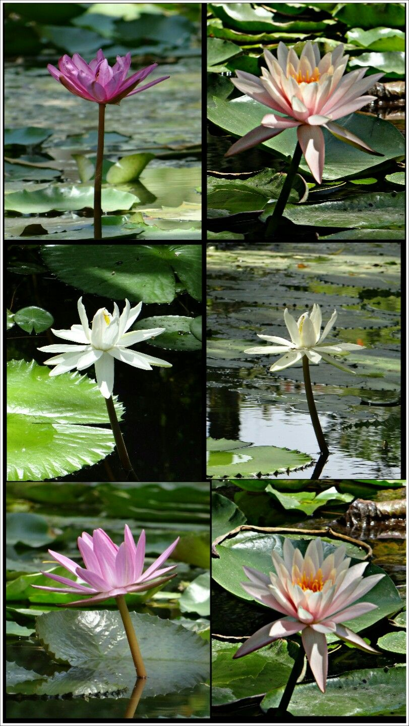 Flower Lotus Colours Photography Natural Beautiful Dif