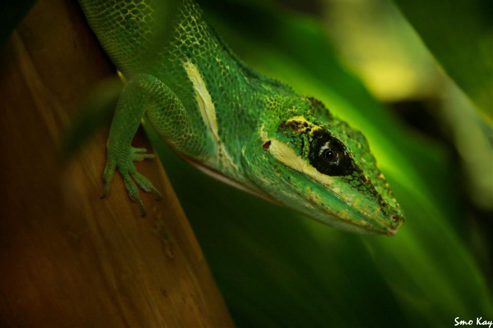 #lizard #photography #nature #petsandanimals #animals #zoo #green #animal #wildlife