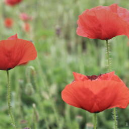 poppy red cute emotions nature photography summer travel countryside 3
